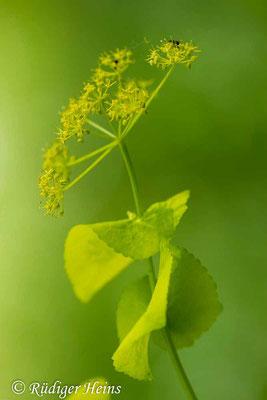Smyrnium perfoliatum (Stengelumfassende Gelbdolde), 27.4.2014