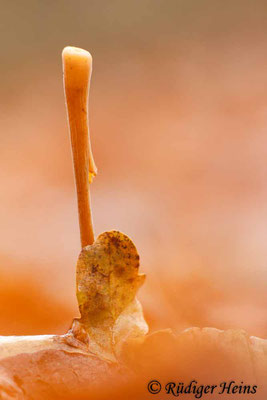 Macrotyphula fistulosa (Röhrige Keule), 11.12.2016