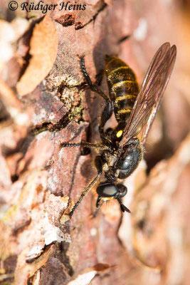 Choerades marginata (Gemeine Mordfliege) Weibchen, 19.7.2020