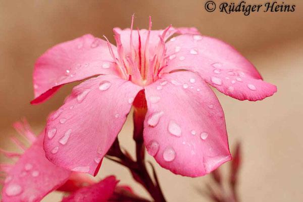 Nerium oleander (Oleander), 27.6.2010