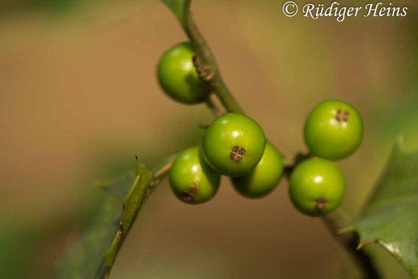 Ilex aquifolium (Europäische Stechpalme), 7.8.2019