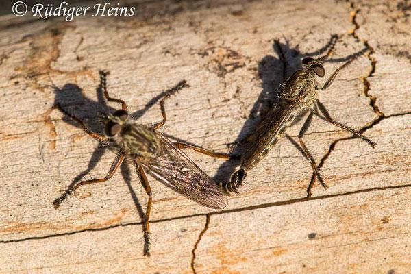 Tolmerus atricapillus (Gemeine Raubfliege) Paarung, 3.8.2020