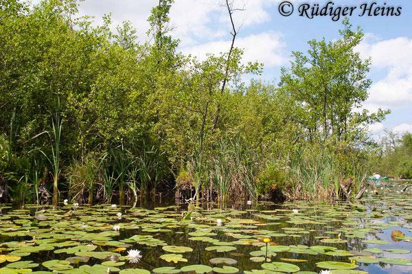 Aeshna isoceles (Keilfleck-Mosaikjungfer) Fortpflanzungsgewässer, 5.7.2009