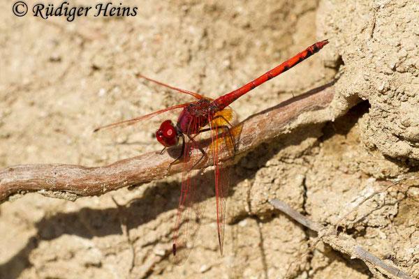 Trithemis arteriosa (Rotader-Sonnenzeiger) Männchen, 27.10.2015