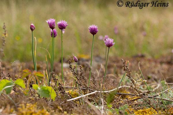 Allium schoenoprasum (Schnittlauch), 30.5.2014