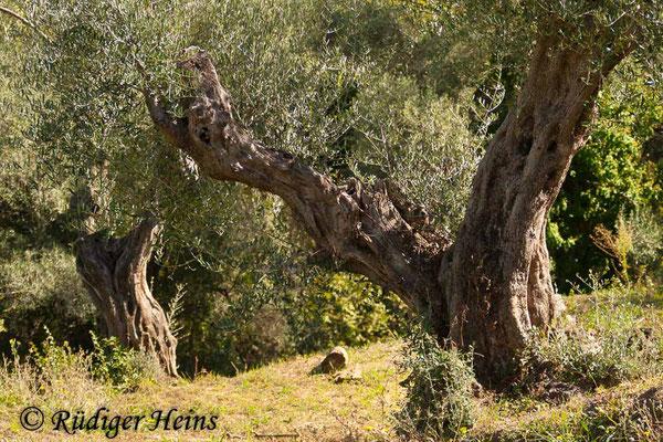 Olea europaea (Olive), 12.10.2010