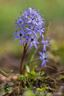 Scilla bifolia (Zweiblättrige Blaustern), 24.3.2019
