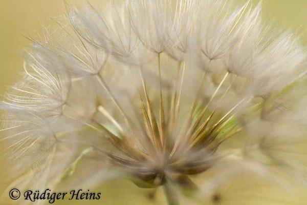 Tragopogon pratensis (Wiesen-Bocksbart), 4.8.2018