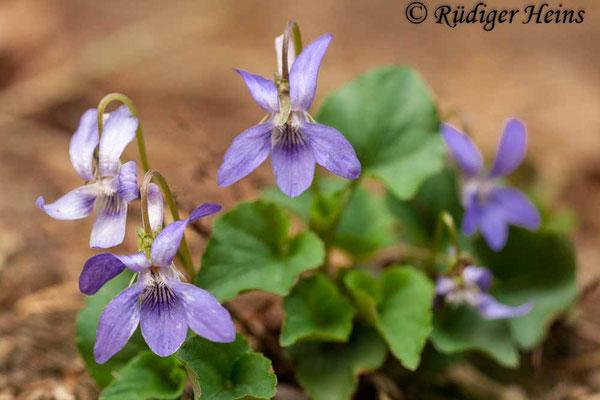 Viola canina (Hunds-Veilchen), 20.4.2012