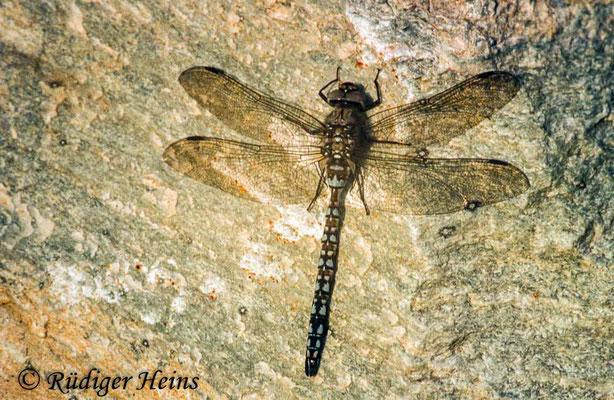 Aeshna caerulea (Alpen-Mosaikjungfer) Männchen, 27.7.1982 (Scan vom Dia)