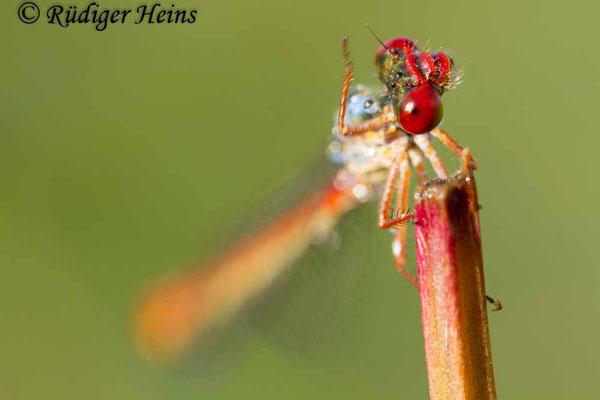 Ceriagrion tenellum (Scharlachlibelle) Männchen, 8.7.2012
