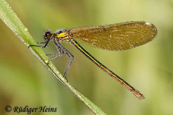 Calopteryx splendens (Gebänderte Prachtlibelle) Weibchen, 15.7.2007