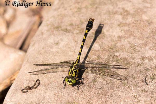 Onychogomphus forcipatus forcipatus (Kleine Zangenlibelle) Männchen, 23.6.2020