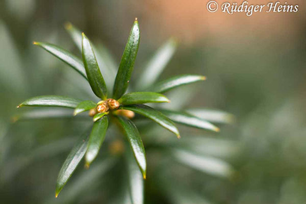 Taxus baccata (Europäische Eibe), 2.1.2021