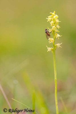 Herminium monorchis (Honigorchis), 17.6.2012