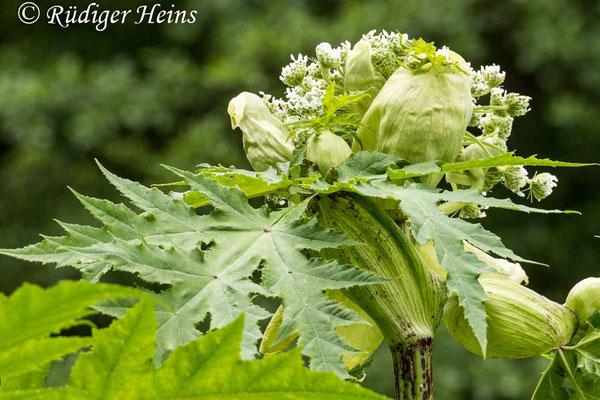 Heracleum mantegazzianum (Riesen-Bärenklau), 20.6.2020