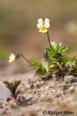 Viola arvensis (Acker-Stiefmütterchen), 27.4.2020