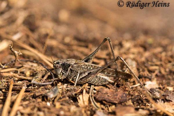 Platycleis albopunctata (Westliche Beißschrecke) Männchen, 17.9.2020