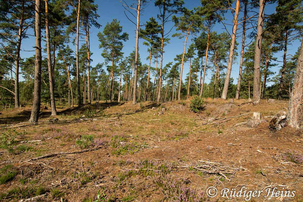 Choerades ignea (Zinnober-Mordfliege) Habitat im Landkreis Heidekreis, 30.8.2020