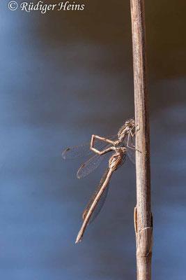Sympecma fusca (Gemeine Winterlibelle) Beginn der Paarung, 18.4.2020