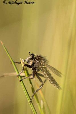 Dysmachus trigonus (Säbel-Raubfliege) Männchen, 19.6.2021 - Makroobjektiv 180mm f/3.5