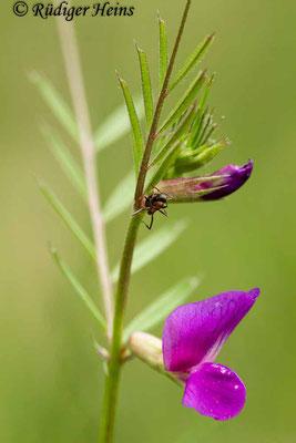 Vicia sativa (Futterwicke), 18.5.2020