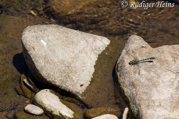 Onychogomphus forcipatus forcipatus (Kleine Zangenlibelle) Männchen, 24.6.2020