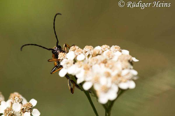 Stictoleptura rubra (Rothalsbock) Weibchen, 6.8.2020