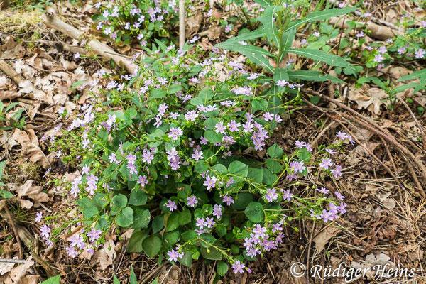 Claytonia sibirica (Sibirisches Tellerkraut), 25.5.2020