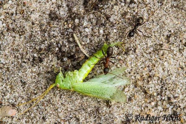 Meconema thalassinum (Gemeine Eichenschrecke) Ameisenbeute, 18.8.2020
