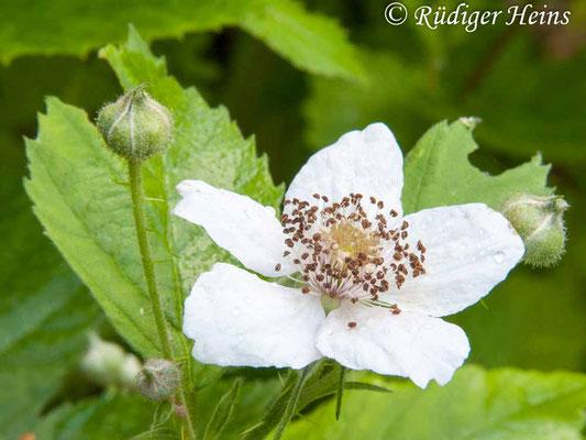Rubus idaeus (Himbeere), 20.6.2010