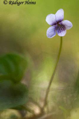 Viola palustris (Sumpf-Veilchen), 9.5.2020