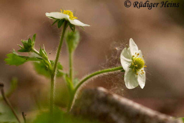 Fragaria vesca (Wald-Erdbeere), 27.4.2014