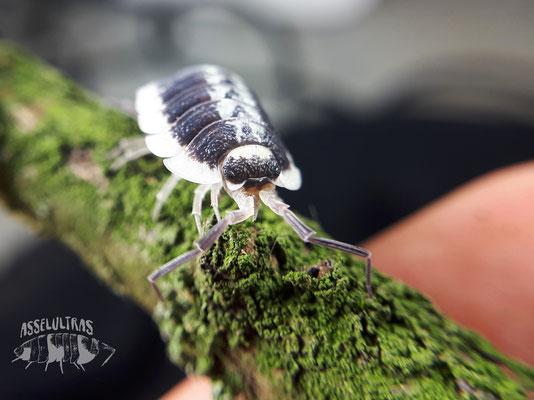 P. flavomarginatus