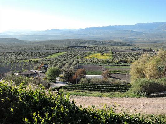 Des oliviers à perte de vue autour de Baeza (Andalusia), ville jumelée avec Carcassonne