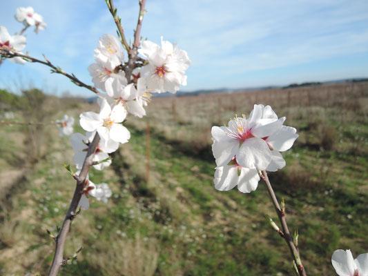 Les amandiers sont en fleur dans le Minervois