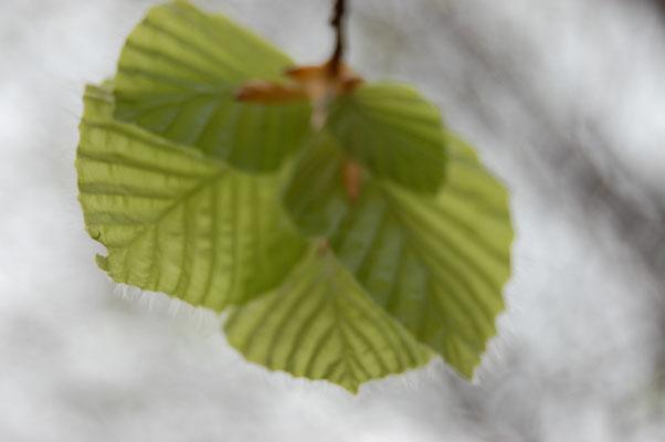 Les feuilles des hêtres se déploient.