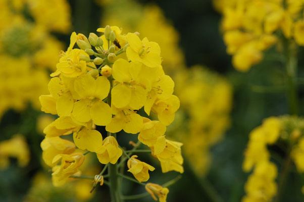 Culture de colza - des collines entières se parent de jaune.