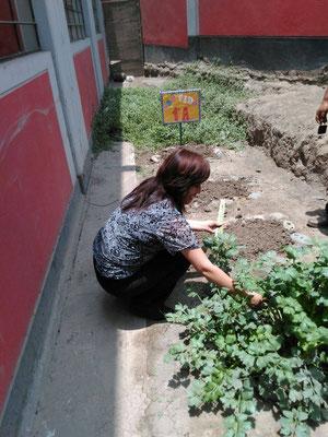 La Directora Nokolaeva Aquino cosechando apio en el sector de los primeros grados.