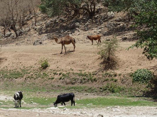 Friedliches Tierleben auf omanisch