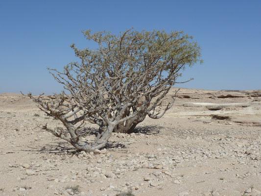Weihrauchbäume im Wadi Doka