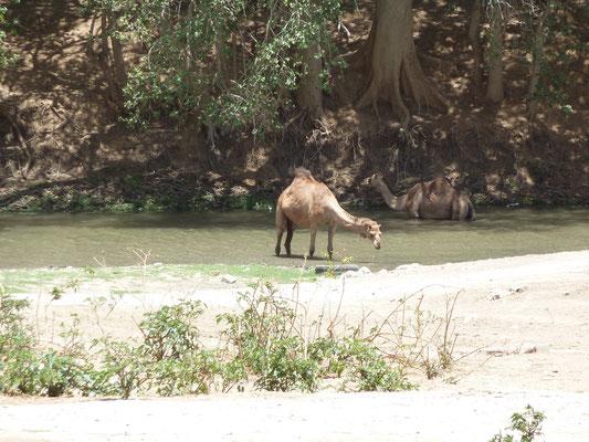 Kamele beim Trinken oder auch Baden