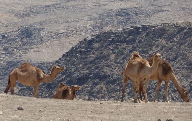 Und wieder ein paar Kamele ...