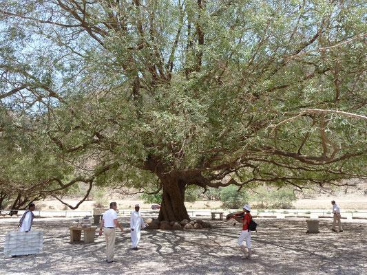 Picknickbaum im Wadi Darbat