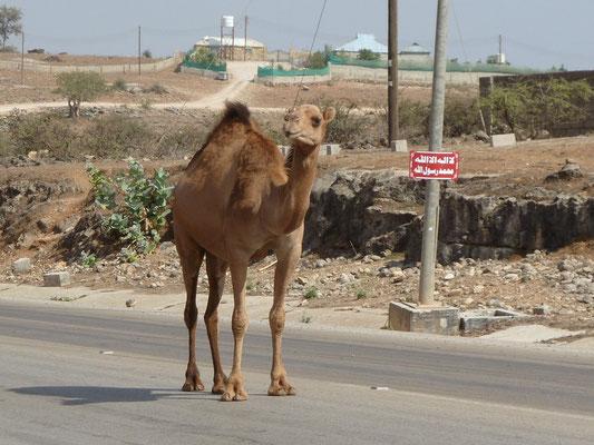 ... steht ein Kamel mitten auf der Strasse ...