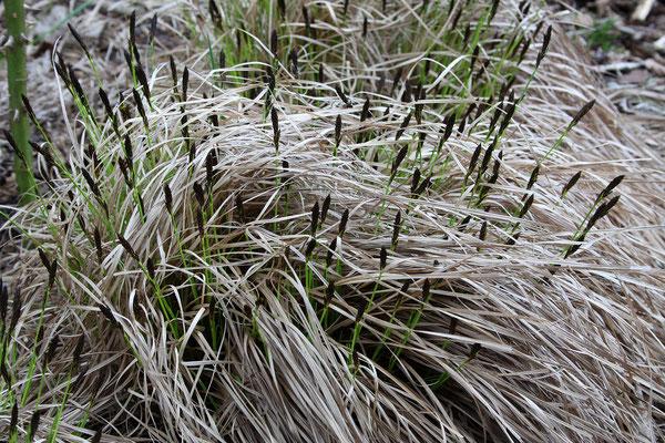 Carex montana  (Berg-Segge)