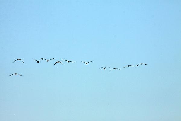 Kiekkaaste, Vogelflug