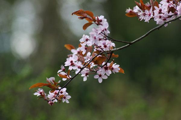 Prunus cerasifera 'Nigra' (Blutpflaume)
