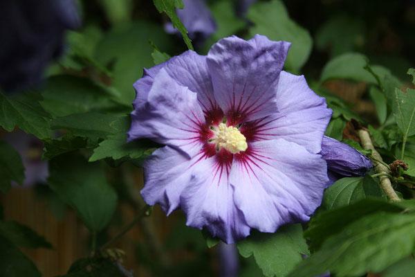 Hibiscus syriacus 'Blue Bird' (Garten-Eibisch)