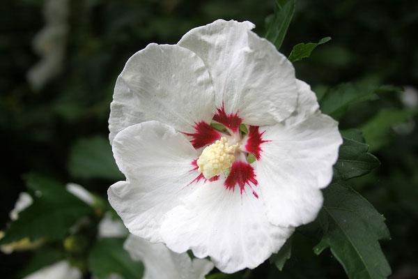 Hibiscus syriacus 'Monstrosus' (Garten-Eibisch)